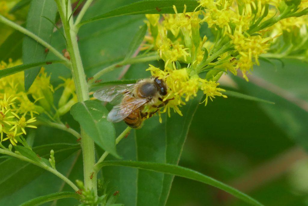 goldenrod flowers with honeybee
