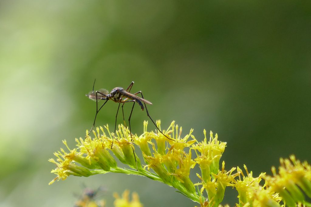 mosquito nectaring on goldenrod flowers
