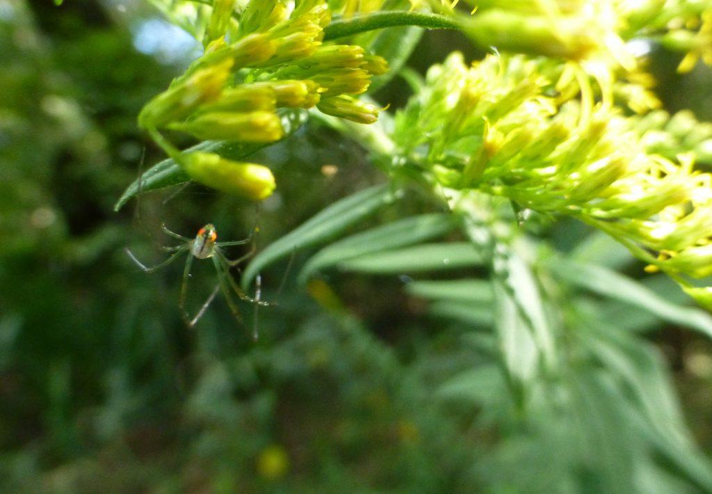 orchard spider on a goldenrod flower