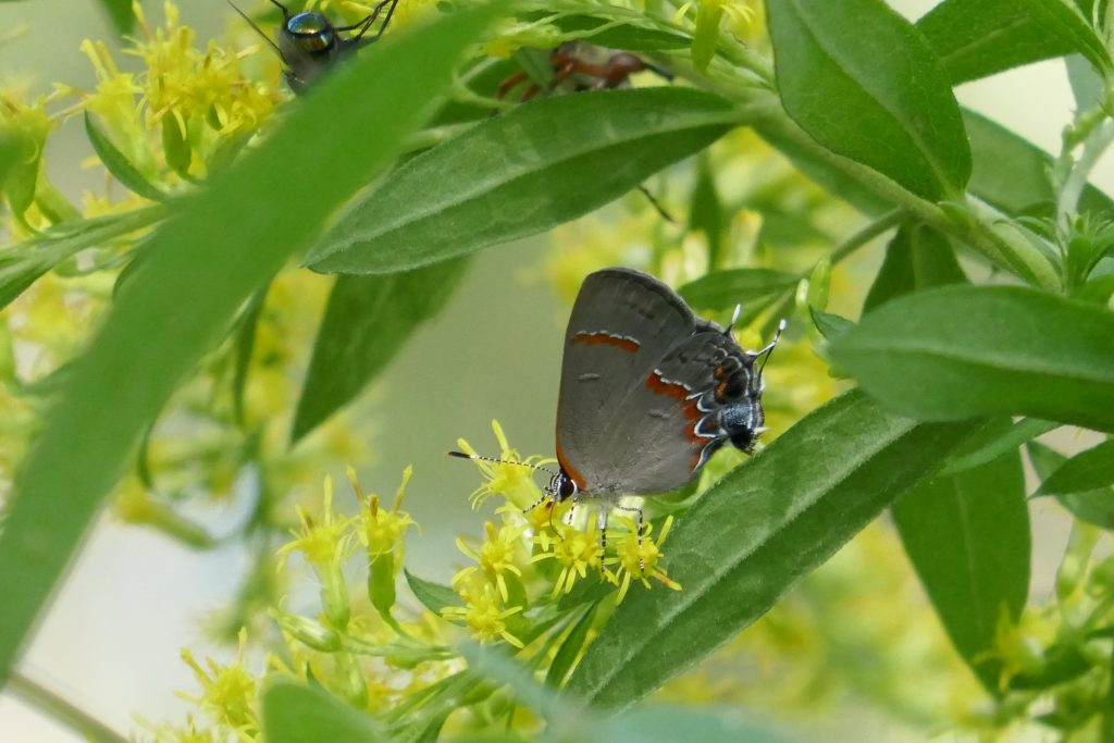 goldenrod flowers with red-banded hairstreak