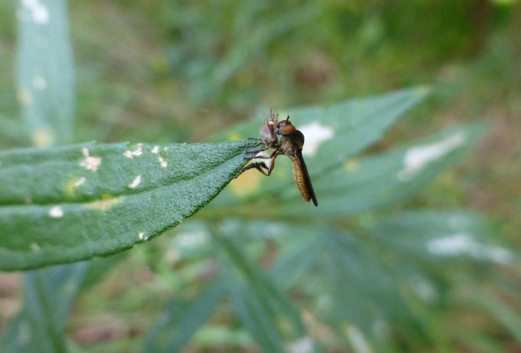 robber fly eating a fruit fly on a goldenrod leaf