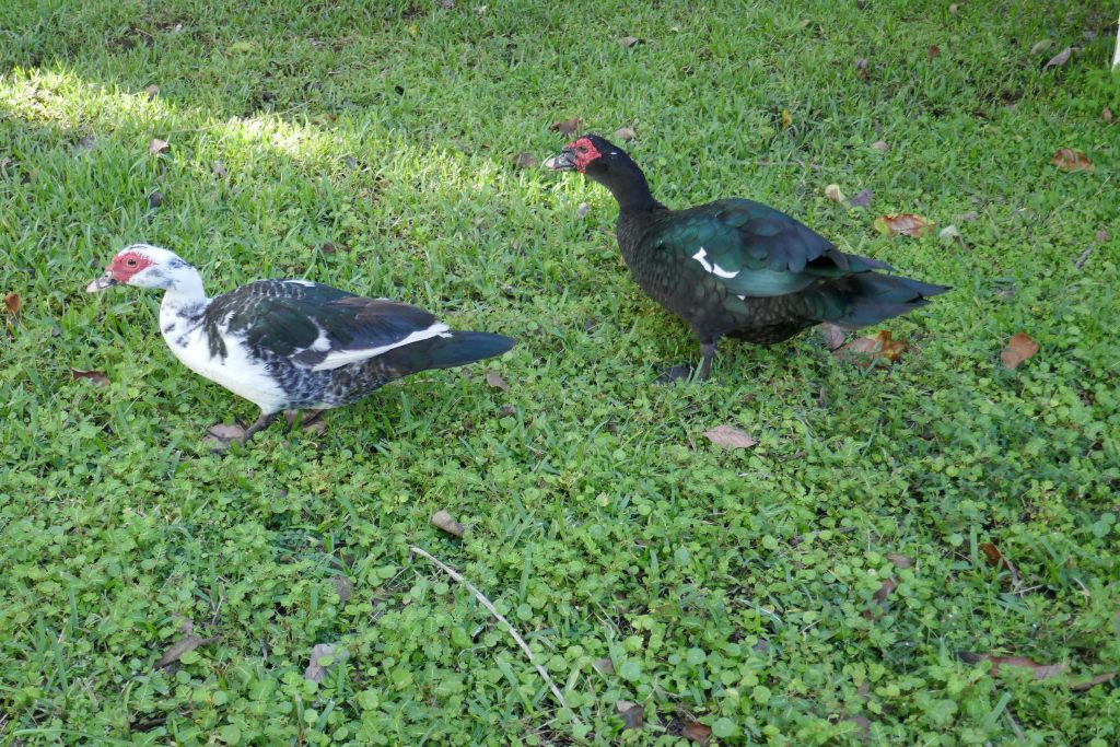 adult male and female muscovy ducks (Cairina moschata)