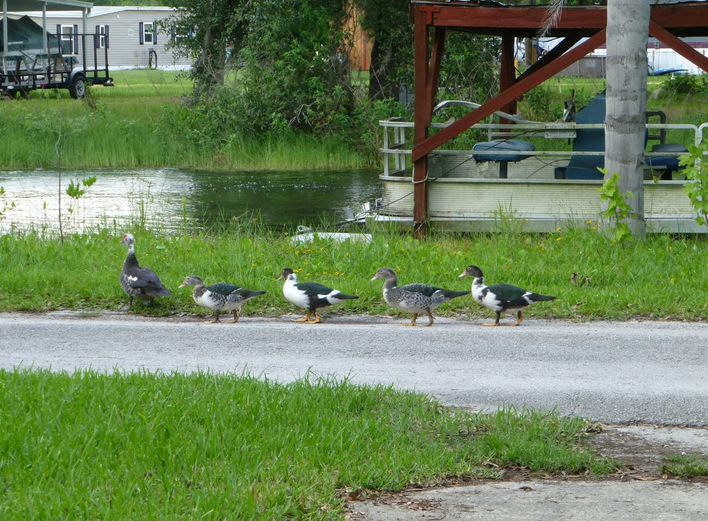 Muscovy duck (Cairina moschata) mother with juveniles following down the roadway