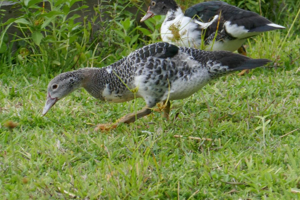 Muscovy Duck Cairina moschata juvenile