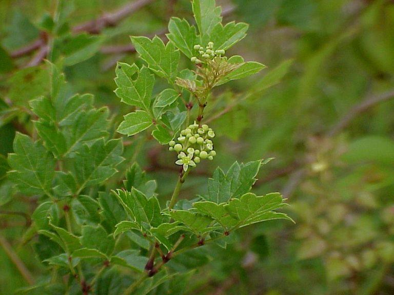Peppervine (Nekemias arborea) flowers