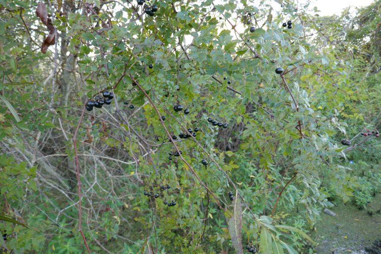 Peppervine (Nekemias arborea) mature berries