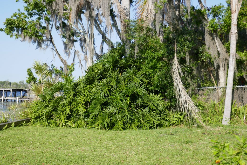 mature tree philodendron (Philodendron bipinnatifidum) in the landscape