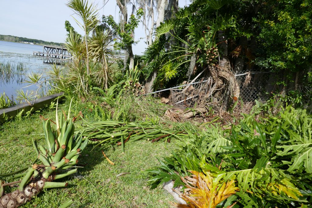 tree philodendron (Philodendron bipinnatifidum) sorted piles of removed foliage