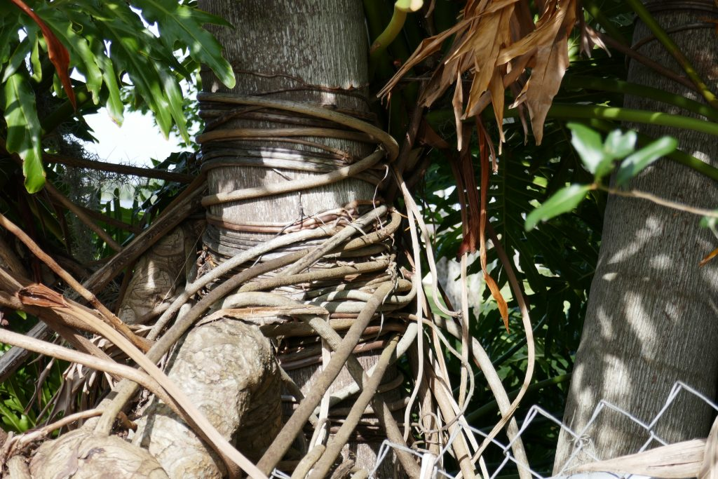 tree philodendron (Philodendron bipinnatifidum) aerial roots wrapping around a nearby tree