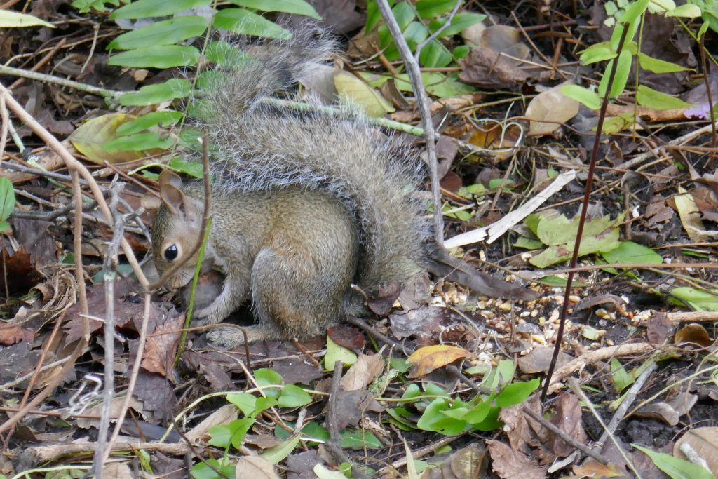 juvenile gray squirrel chewing on a whole pignut hickory nut