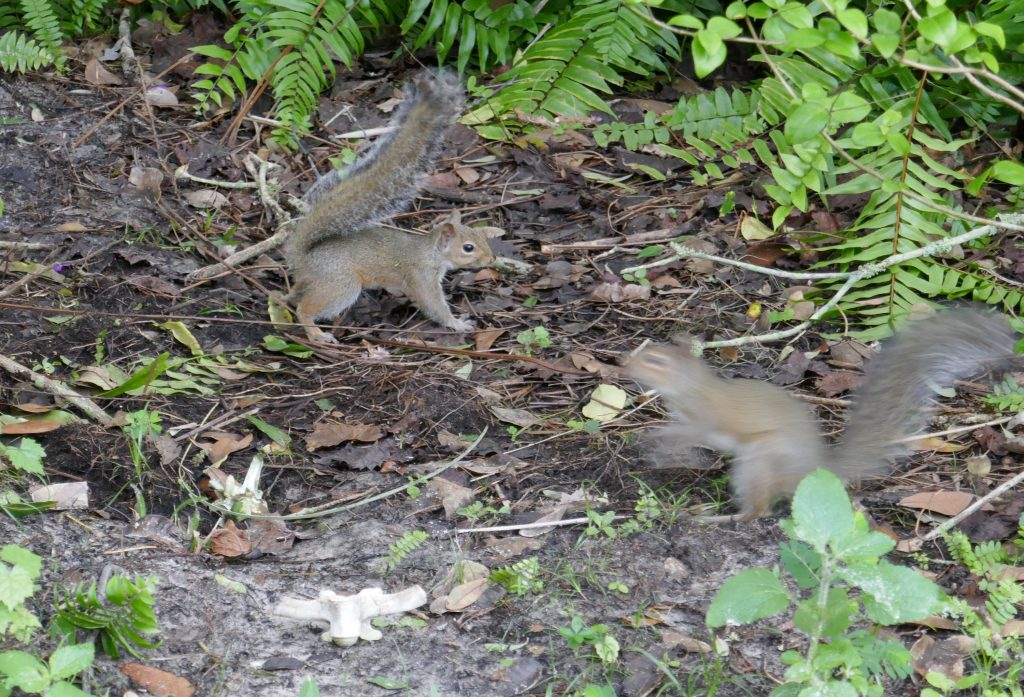 juvenile gray squirrels chasing each other in the garden