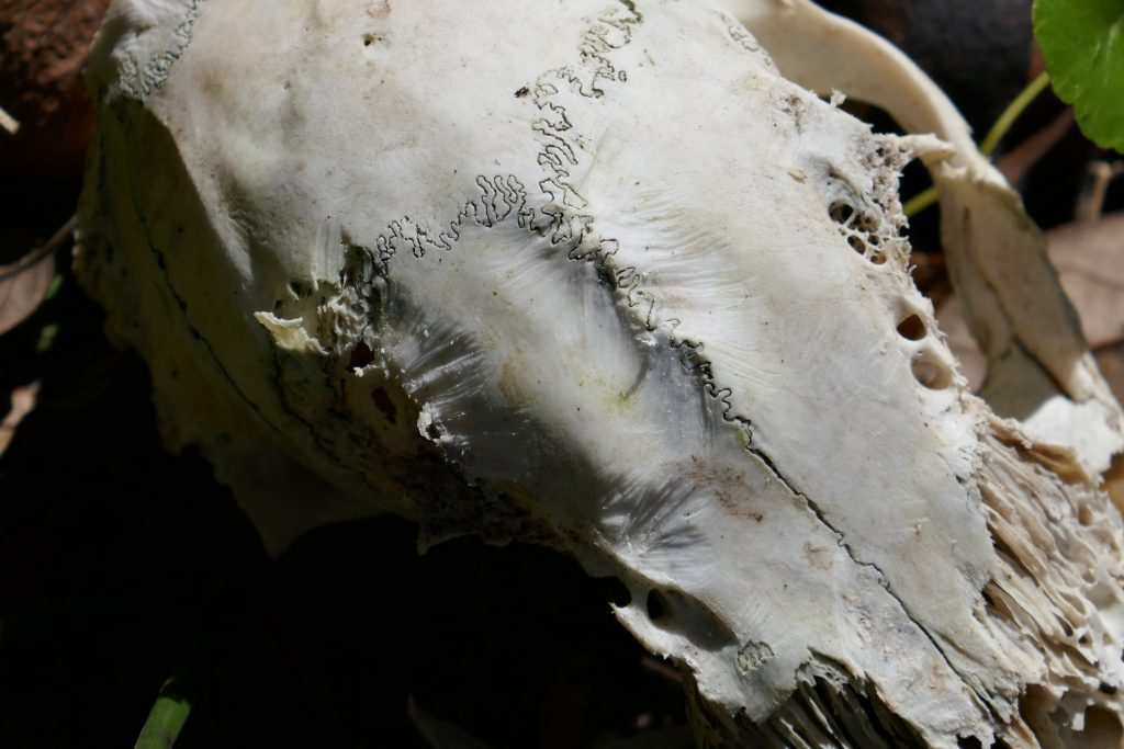 a bleached skull that has been chewed by gray squirrels