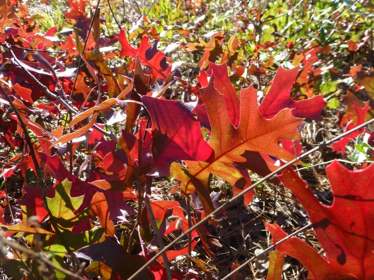 turkey oak (Quercus laevis) leaves in brilliant shades of red