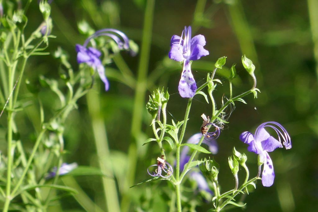 blue curls (Trichostema dichotomum) flowers