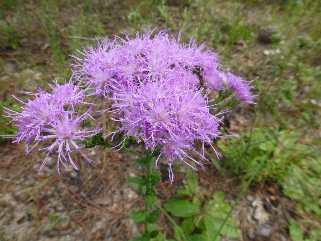Florida paintbrush flowers (Carphephorus corymbosus)