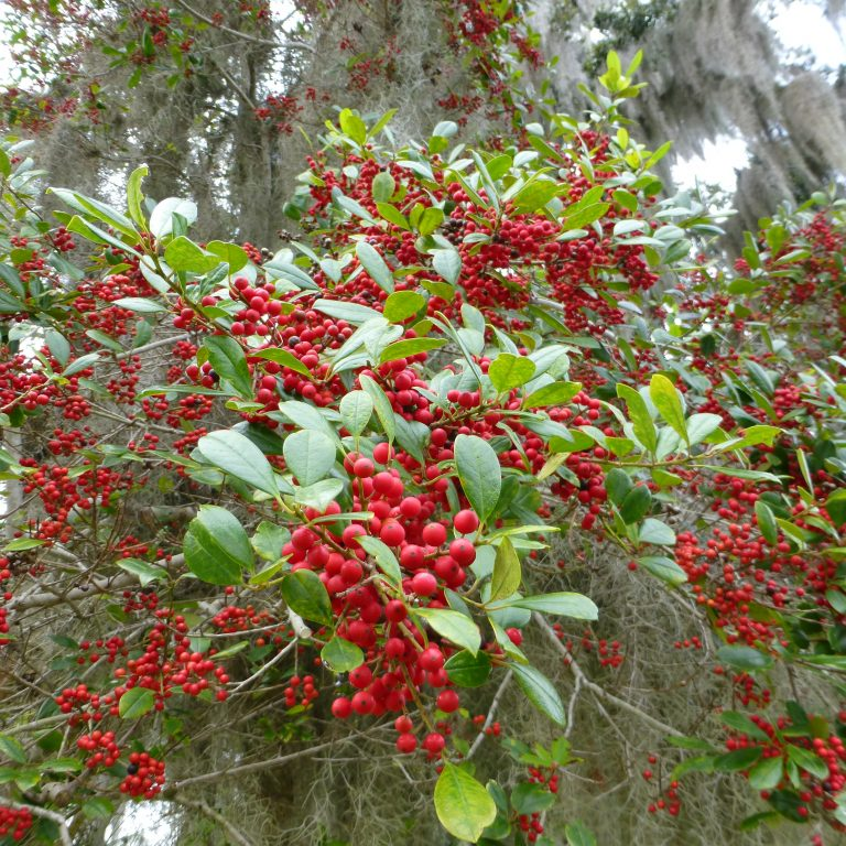The brilliant red berries of a dahoon holly (Ilex cassine).