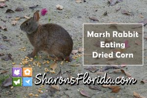YouTube video link to a video of a marsh rabbit eating dried corn