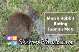 YouTube video link to a video of a marsh rabbit eating Spanish moss