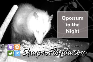 video link to a Virginia opossum (Didelphis virginiana) eating sunflower seeds in the night