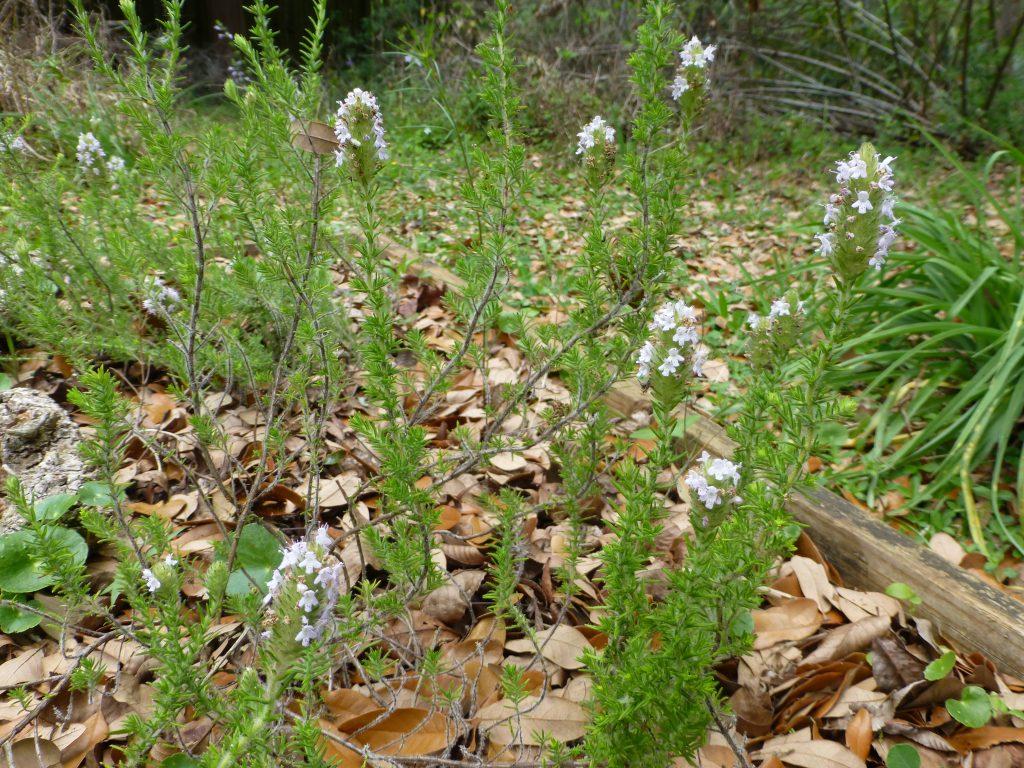 Pennyroyal flowers (Piloblephis rigida)