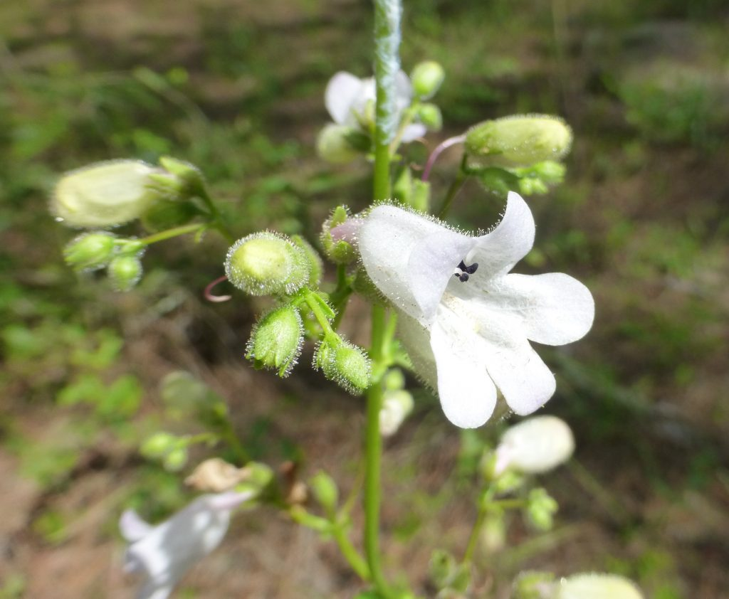 Many-flower Beardtongue flowers (Penstemon multiflorus)