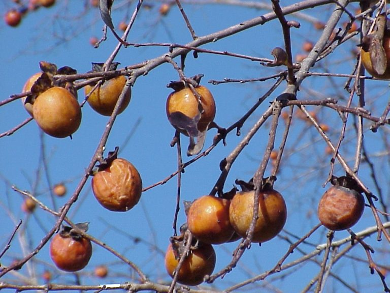 Persimmon (Diospyros virginiana) fruit hanging on a tree with the blue sky in the background.
