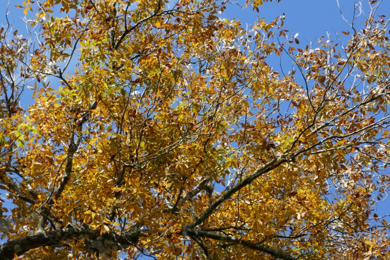 golden pignut hickory (Carya glabra) leaves in the fall.