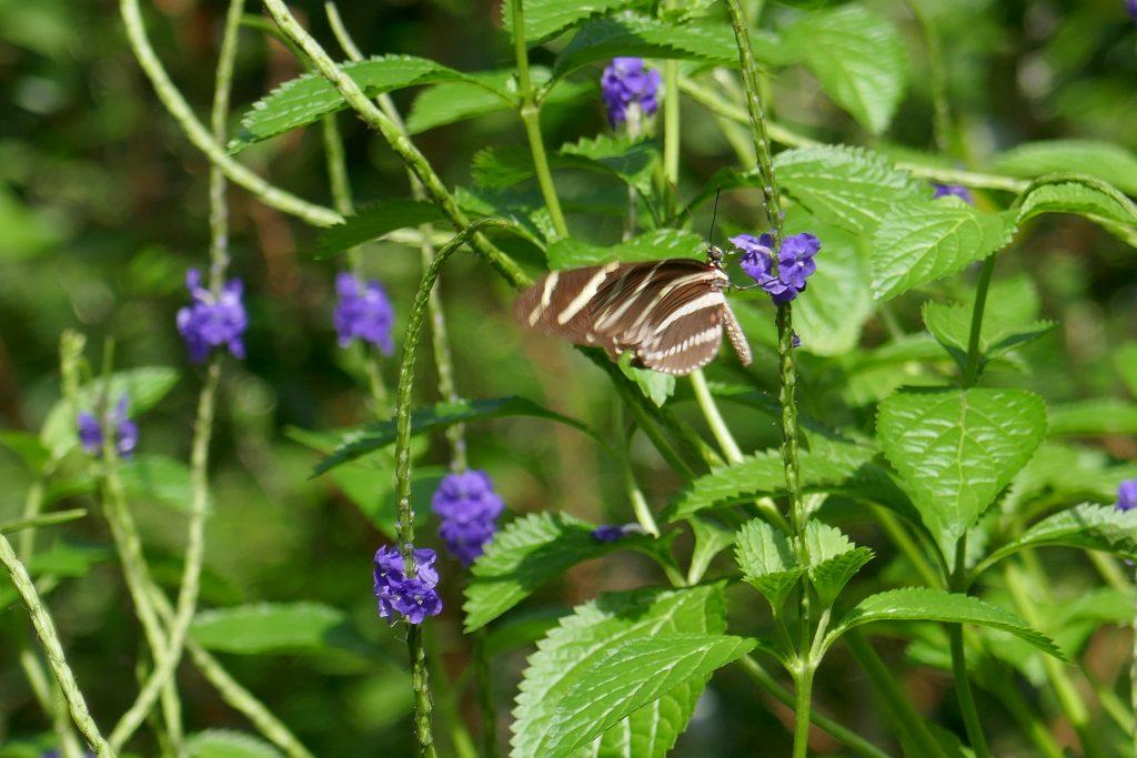 Porterweed (Stachytarpheta jamaicensis)