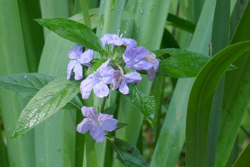 Wild Petunia flowers (Ruellia caroliniensis)