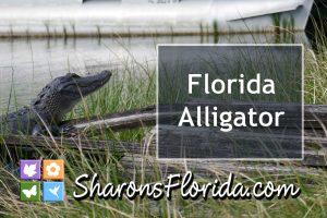 Florida alligator sunning on a canal bank