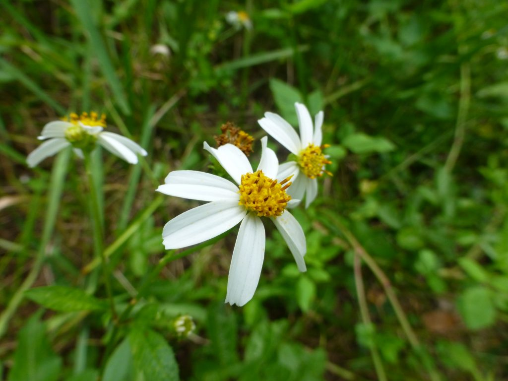 Spanish needles flowers (Bidens alba)
