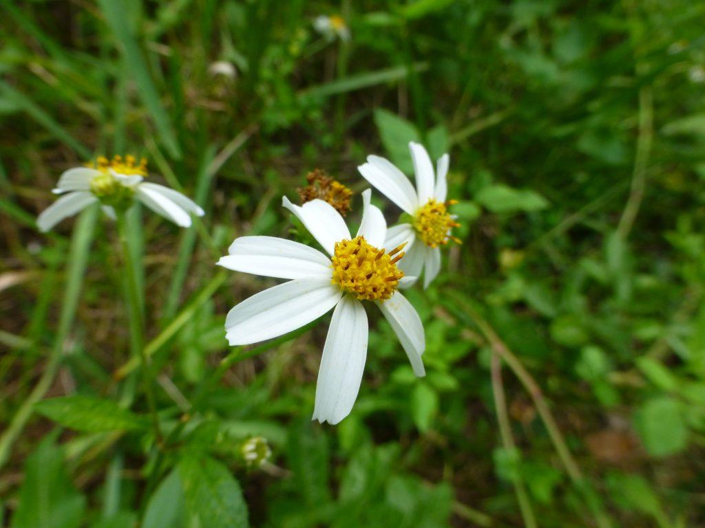 Spanish needles flowers (Bidens alba)