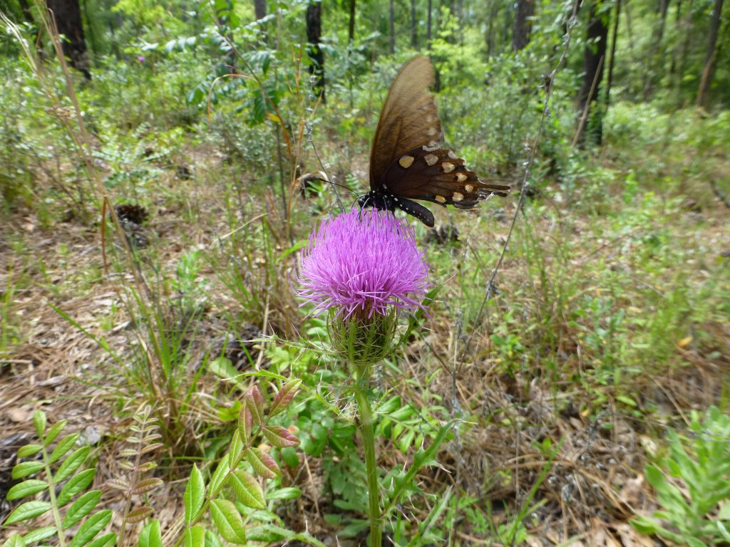 Purple Thistle flower (Cirsium horridulum) and black swallowtail butterfly
