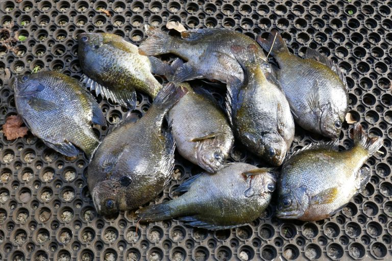 Florida bluegill fish in a pile