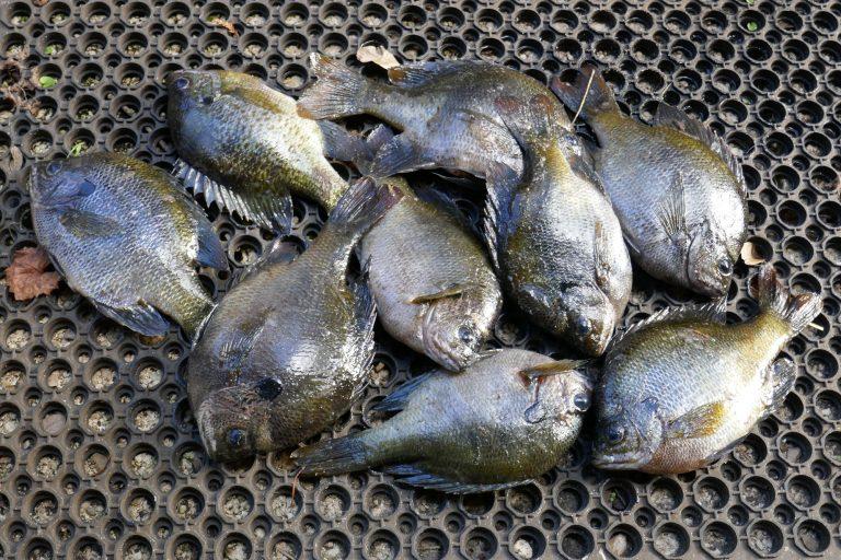 Florida bluegill fish in a pile