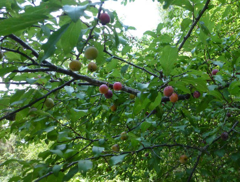 flatwoods plum ripe fruit (Prunus umbellata)