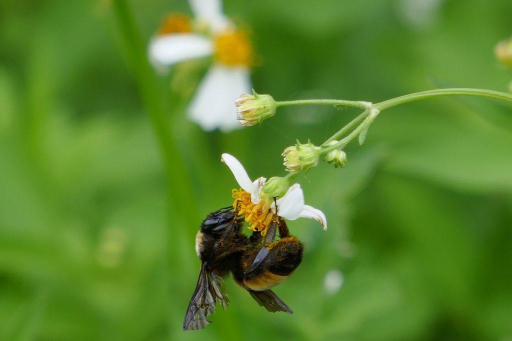 bumblebee on a Spanish needle flower (Bidens alba)