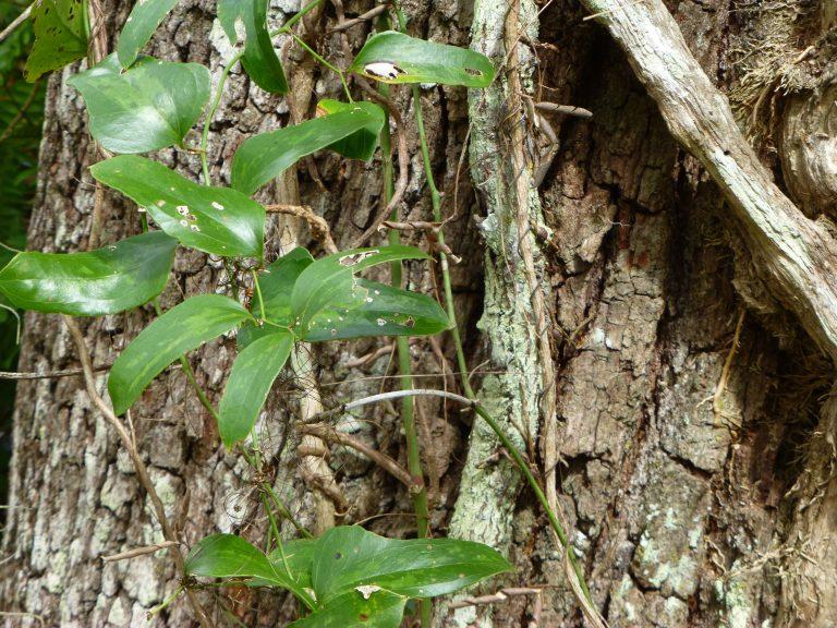 saw greenbrier leaves (Smilax bona-nox)