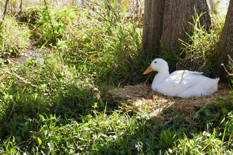 a female Pekin duck sitting on a nest