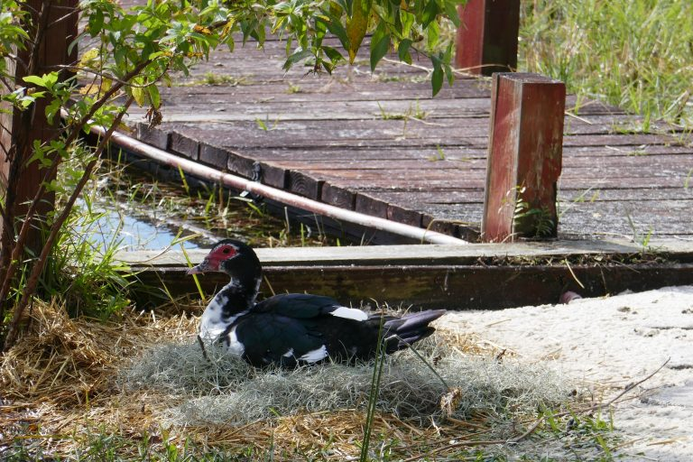a female Muscovy duck sitting on a nest