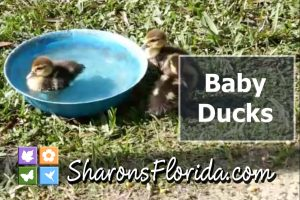 thumbnail for a video about baby muscovy ducks