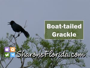 thumbnail for a video about boat-tailed grackles