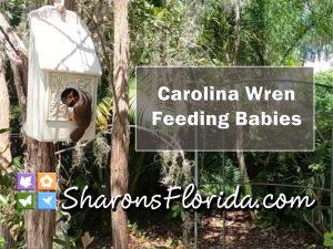 thumbnail for a video about Carolina wren feeding babies