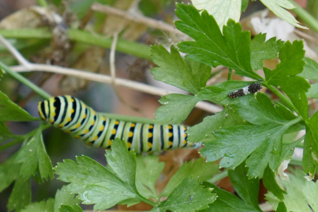 first and last instars of black swallowtail caterpillars on a parsley plant