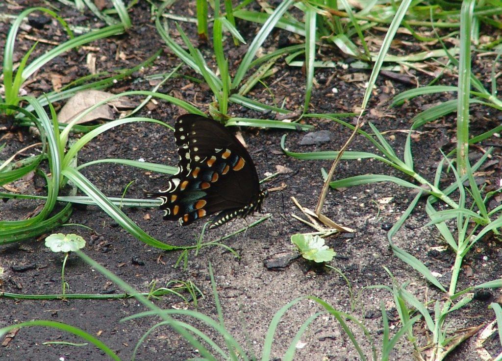 black swallowtail butterfly puddling (drinking water from moist soil)