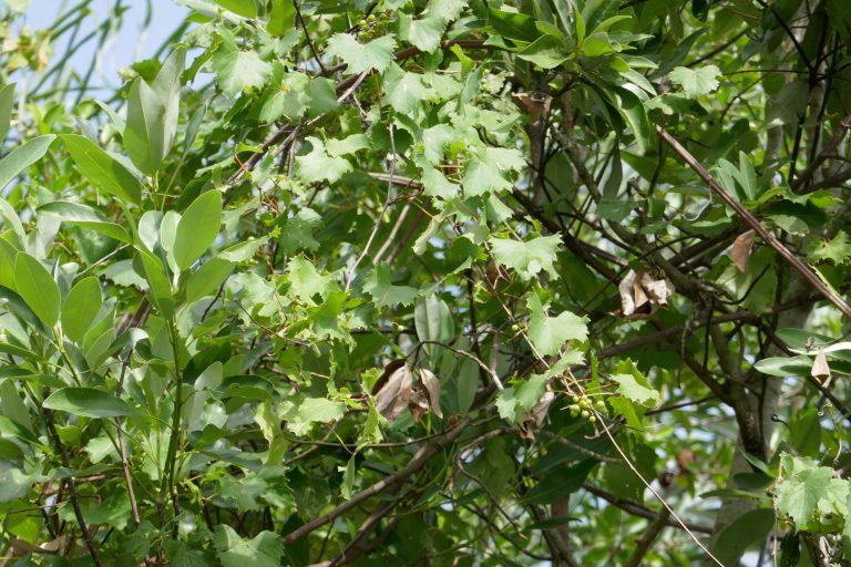 muscadine grape growing in surrounding trees (Vitis rotundifolia)