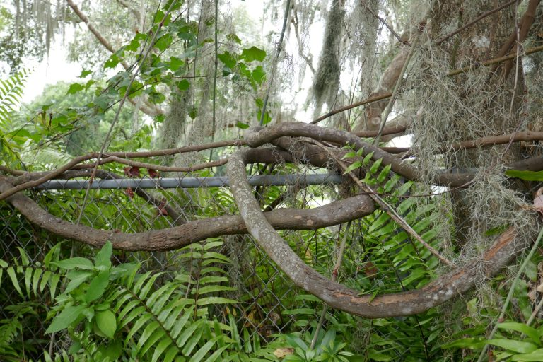 muscadine grapevine trunk (Vitis rotundifolia)