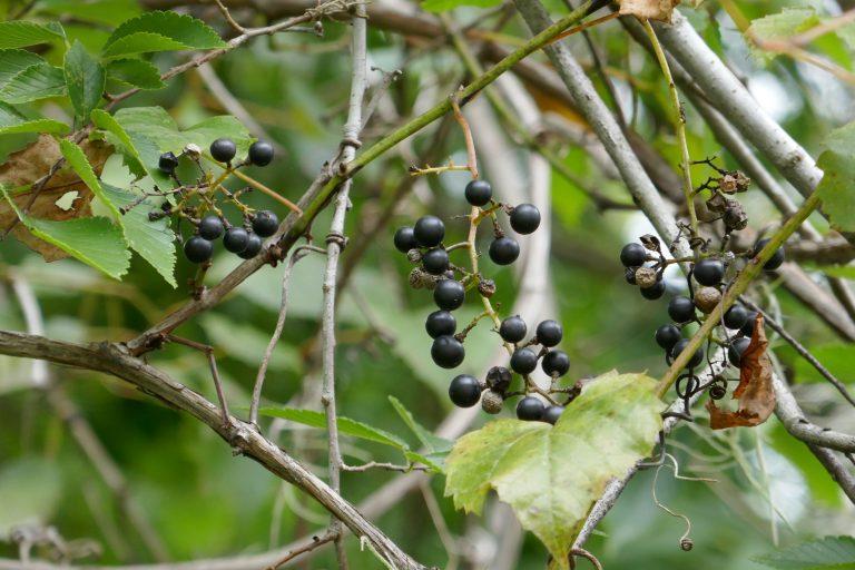 muscadine grapes (Vitis rotundifolia)