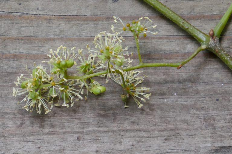 male muscadine grape flowers (Vitis rotundifolia)