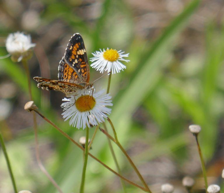 phaon crescent butterfly on a fleabane flower